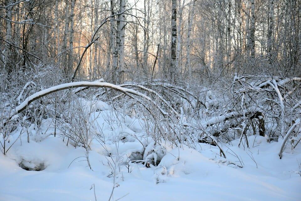 雪で折れ曲がった樹木
