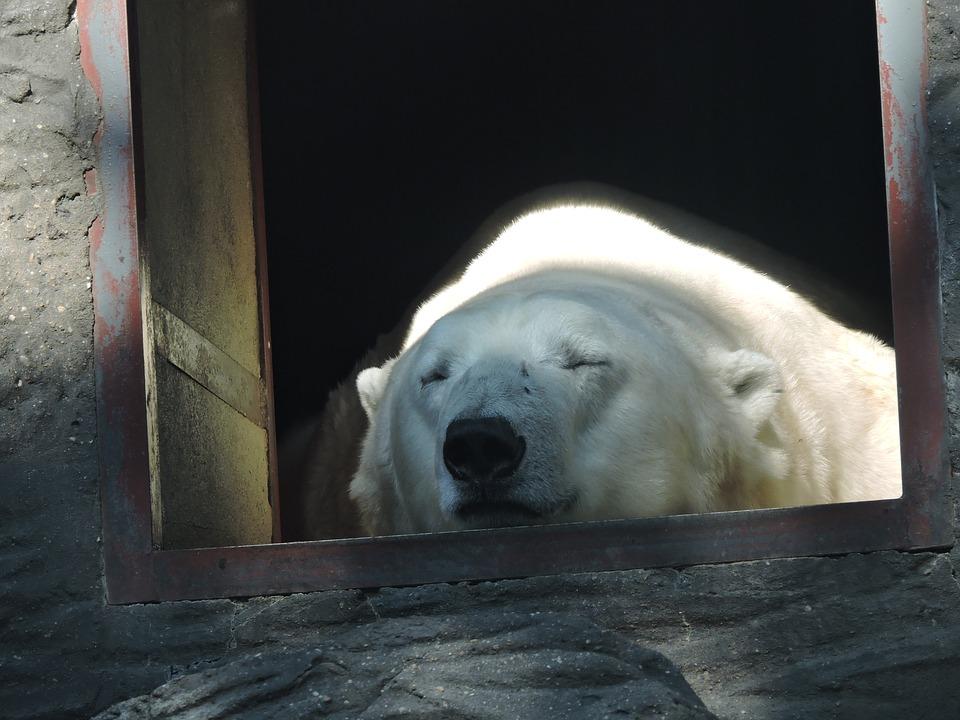 シロクマの寝顔