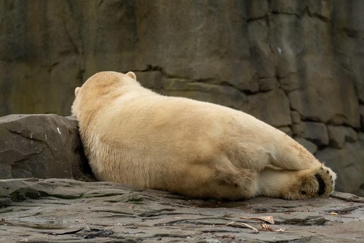 寝転がるシロクマのうしろ姿