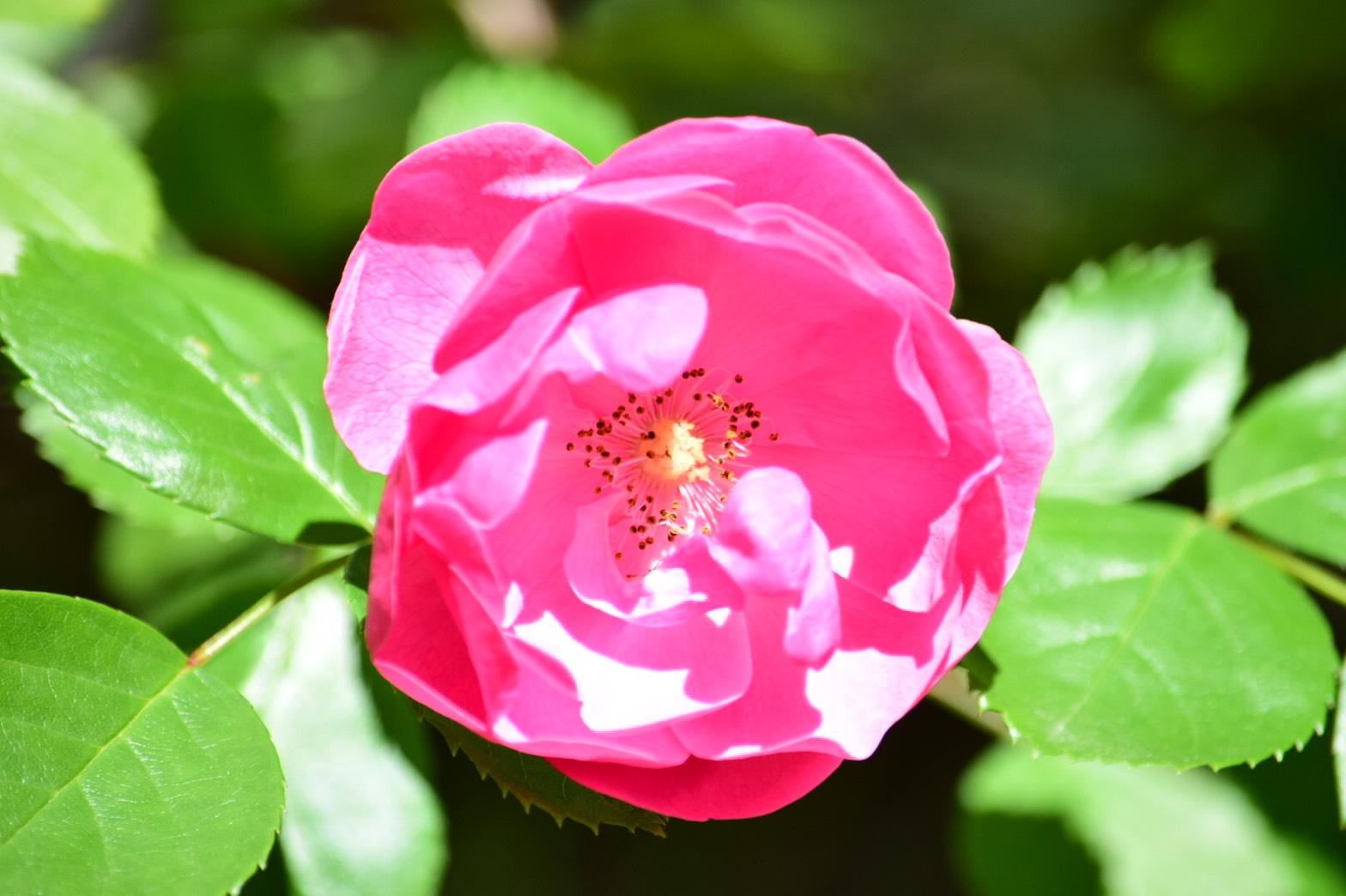 モッコウバラの赤い花