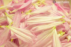 菊の花びらアップ