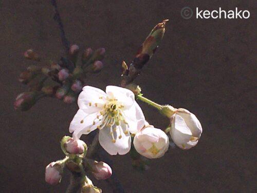 2021年3月15日サクランボの花開花
