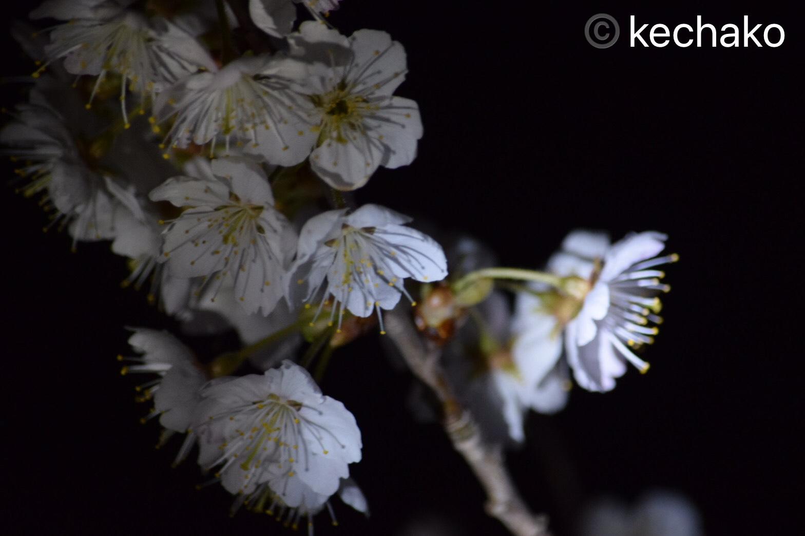 2021サクランボの木の花、夜桜