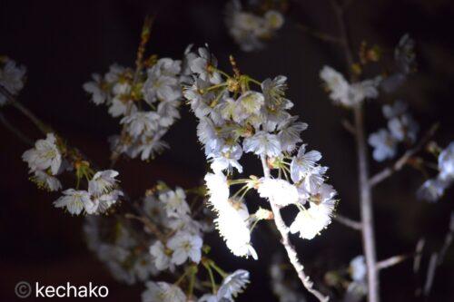 2021年3月20日サクランボの花満開